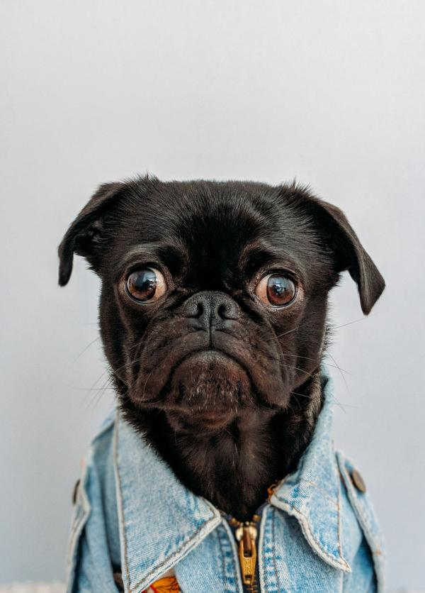 Pug in Denim