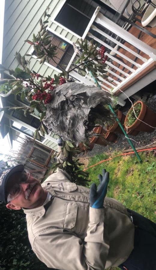 Image of our Pest Control Technician removing a Wasp Nest