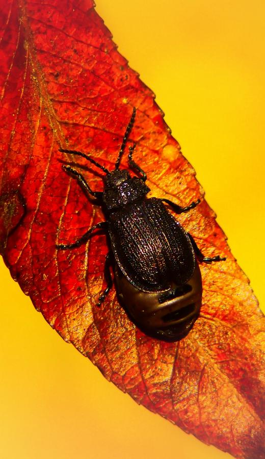 Image of a Beetle - Humboldt Termite & Pest Control