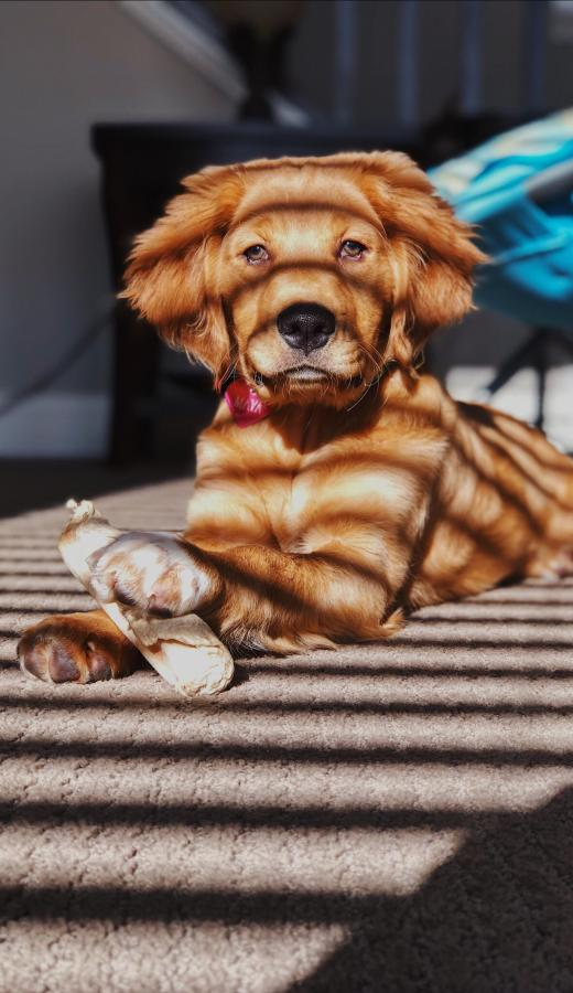 Image of a dog which can carry fleas