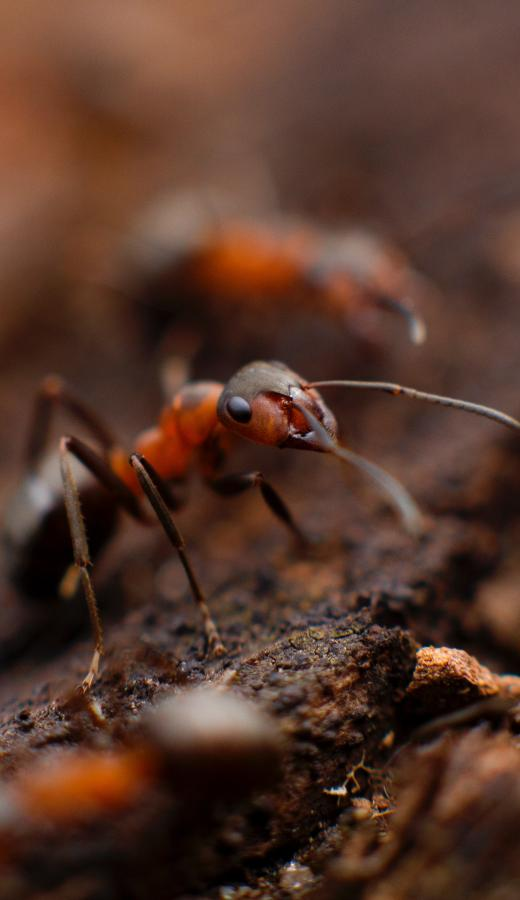 Image of an Ant outdoors - Humboldt Termite & Pest Control