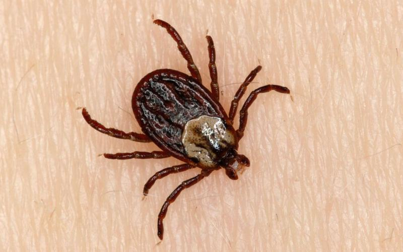 Image of a Tick which can often follow Fleas