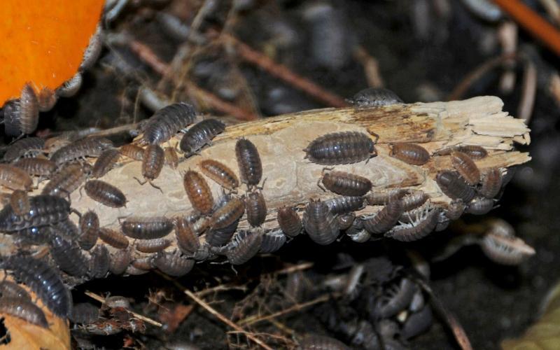 Image of sowbugs huddled together - Humboldt Termite & Pest