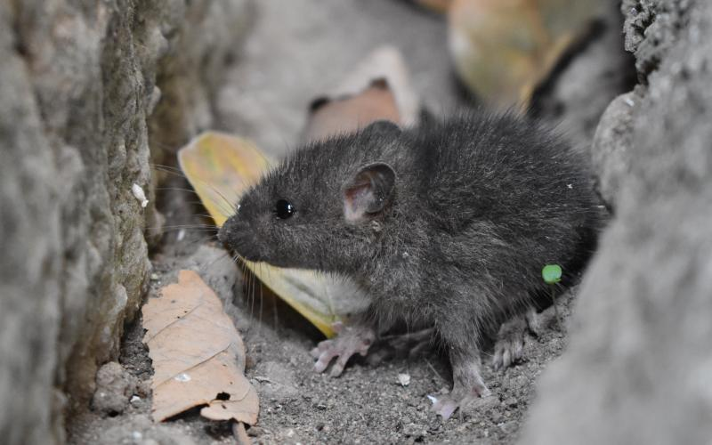 Image of a mouse on the ground - Humboldt Termite & Pest Control