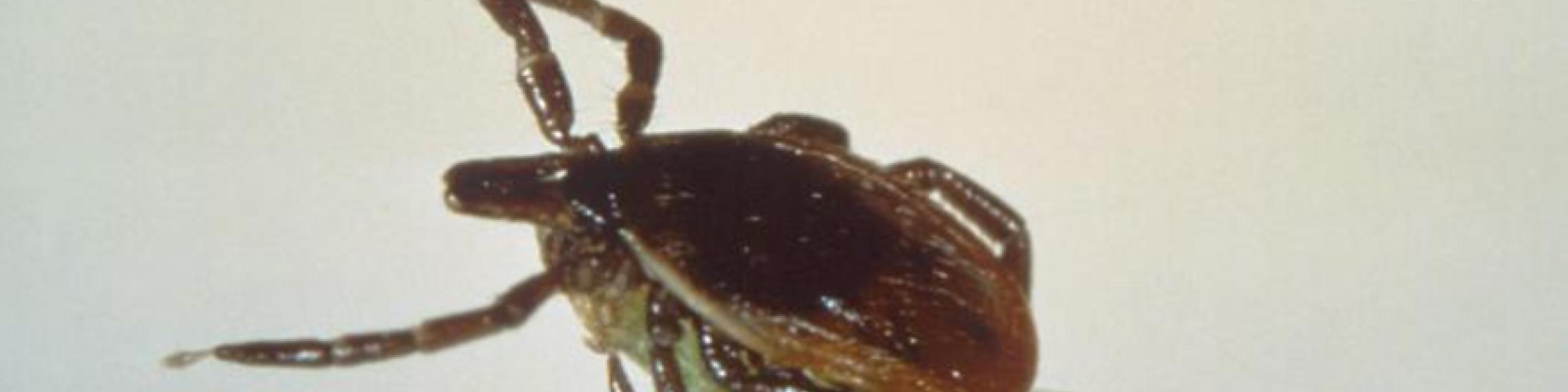 Example Image of Ticks - Humboldt Termite & Pest