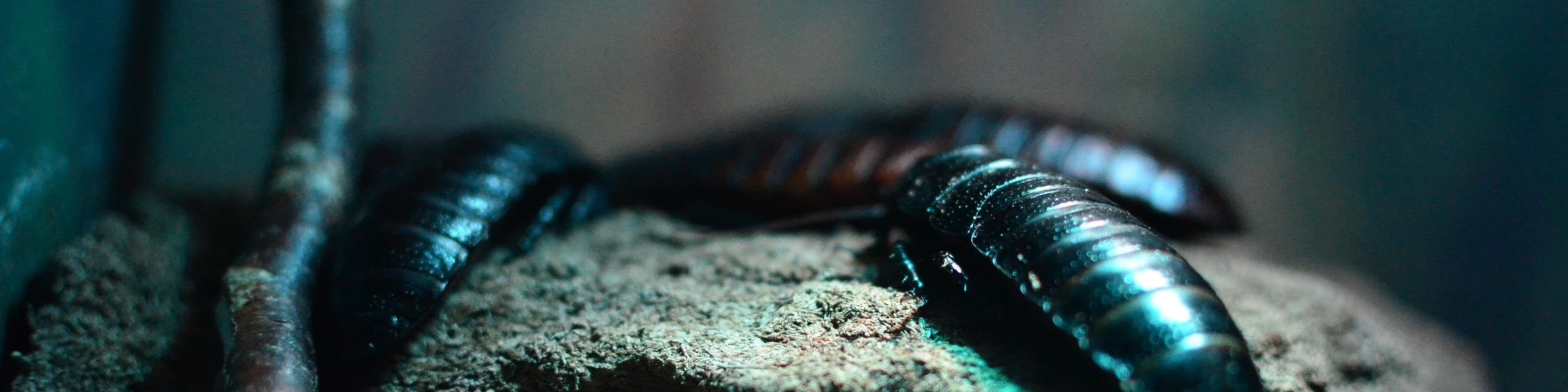 Cockroaches - Humboldt Termite & Pest Control