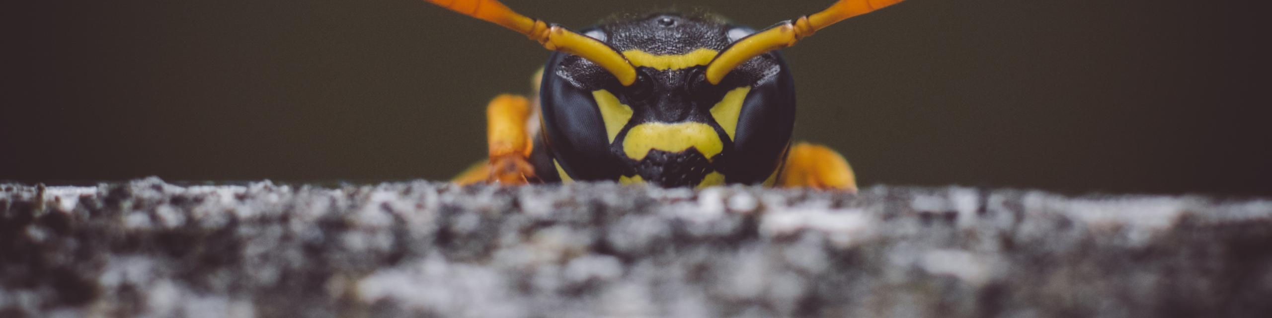 Image of a wasp - Humboldt Termite & Pest