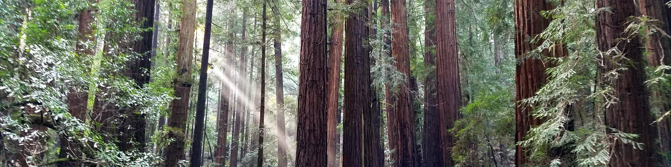 Redwood Trees of Northern California