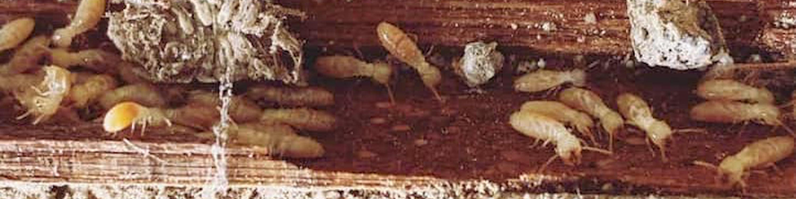 Termite and pest damage repair in Humboldt and Del Norte County