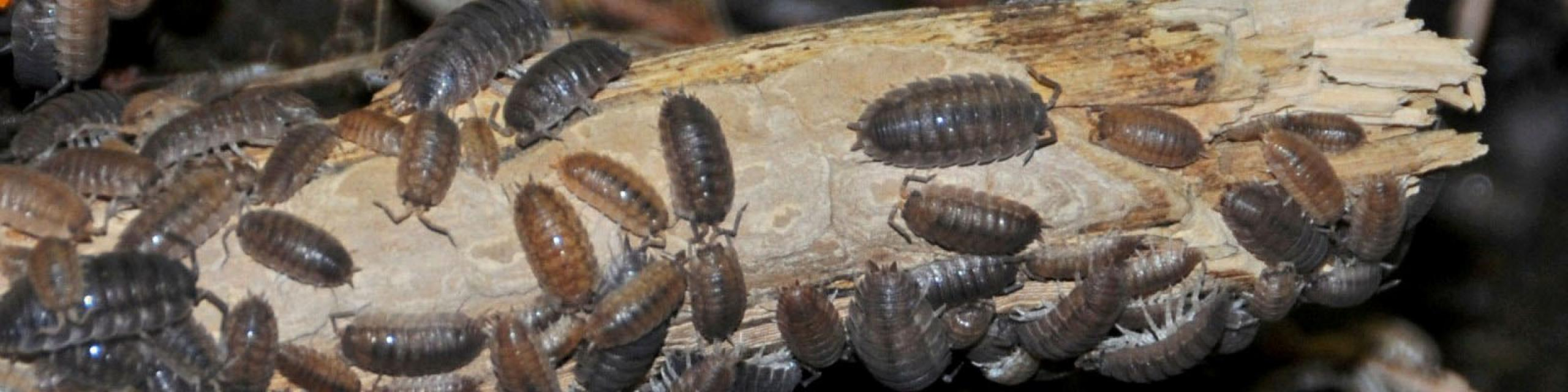Image of sowbugs huddled together - Humboldt Termite & Pest